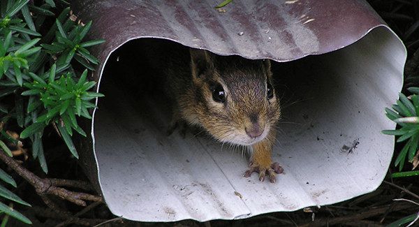 Common Damages Chipmunks Can Cause