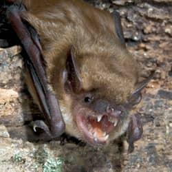 Little Brown Bats Are No Little Threat