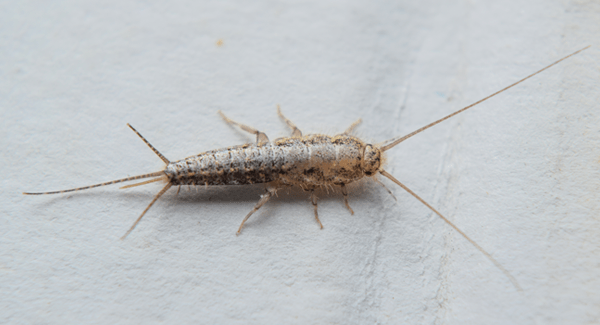 Mistakes We Make With Silverfish