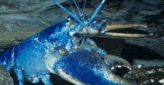 rare blue lobster in tank