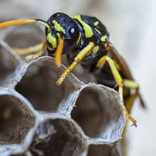 large black and yellow paper wasp on a nest
