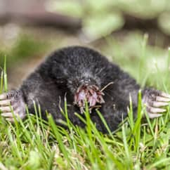 mole peaking out of tunnel in a homeowners lawn
