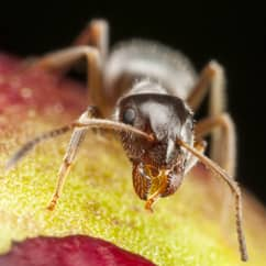 pharaoh ant searching for food in a home