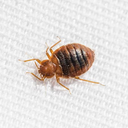 bed bug on a bed sheet in an ma hotel room