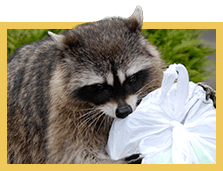 raccoon raiding trash can for garbage